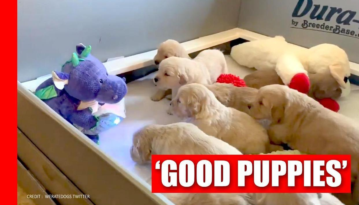 Video of puppies listening to bedtime stories from a stuffed toy wins internet - Republic World