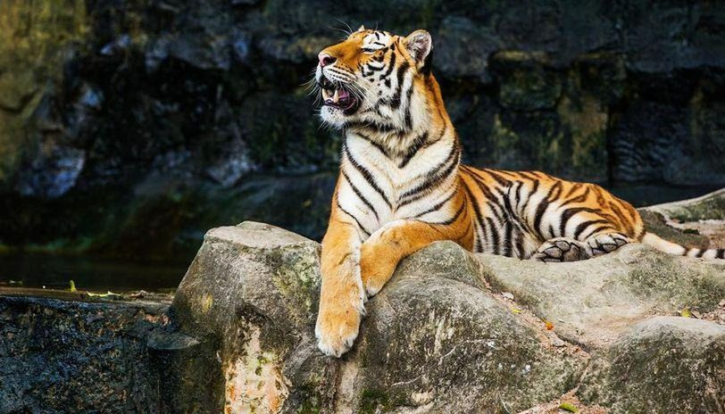 Forest officials report increase in sightings of Tigers