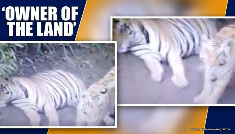 Tigers video of obstructing car's route in forest is a must watch