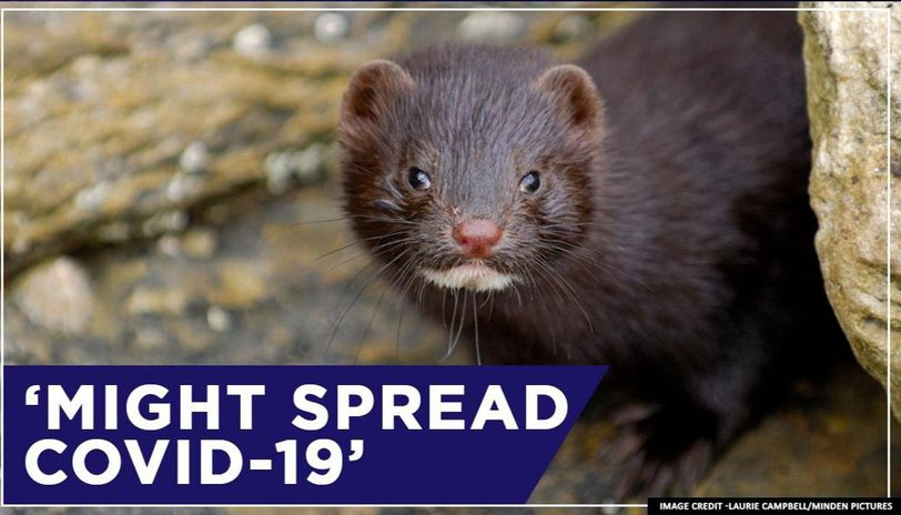 Dutch authorities suspect minks of spreading COVID-19, call for tests