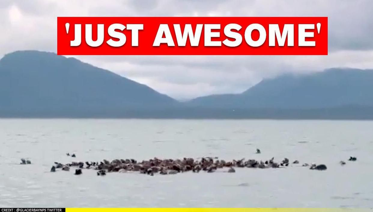 Dozens of sea otters floating together in waters of Bartlett Cove; Watch